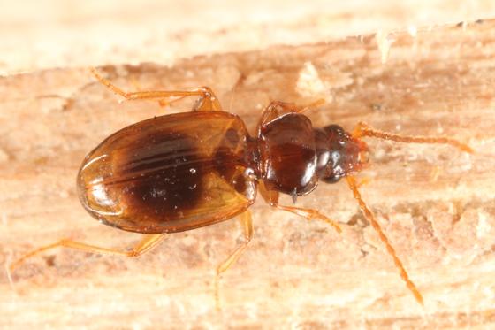 small carabid - Tachys rhodeanus