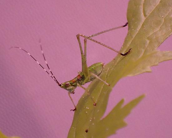 Scudderia nymph k4_0517 - Scudderia furcata - male
