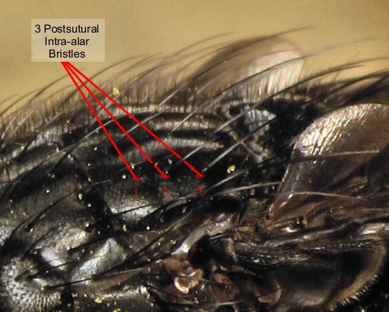 Calliphora livida - female