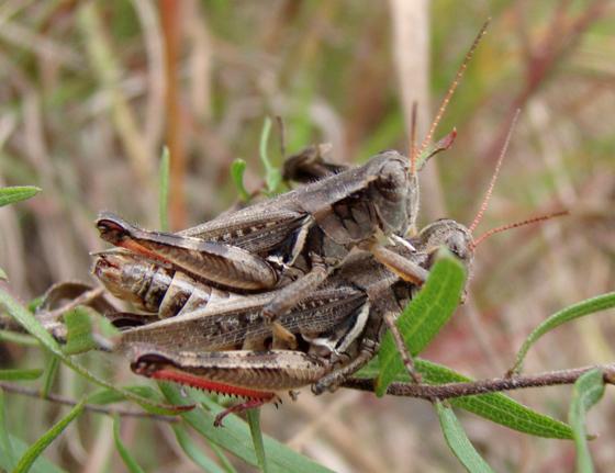 Acrididae - Melanoplus keeleri - male - female