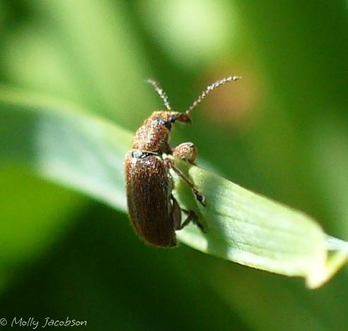 tiny weevil? - Cimberis
