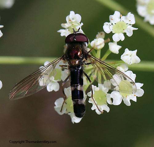 Syrphid - Platycheirus