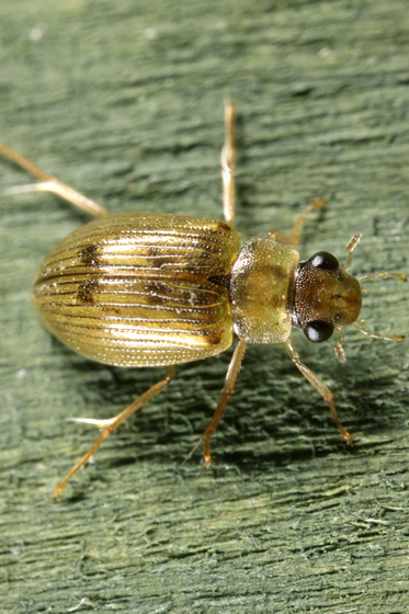 Beetle - Berosus