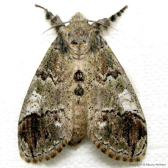 Southern Tussock Moth - Hodges #8298 - Dasychira meridionalis - female