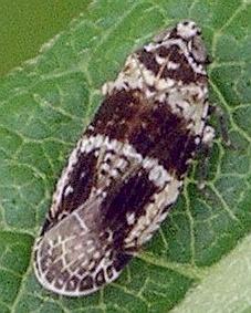 brown and white achilid - Catonia texana
