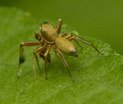 tan jumping spider, white line under head, frequently reaching with forearms - Tutelina elegans