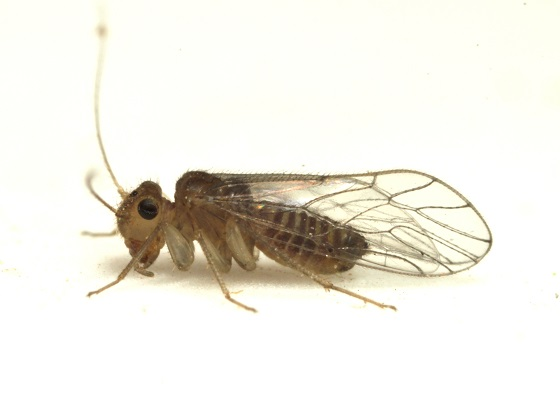 Hemipsocus chloroticus - female