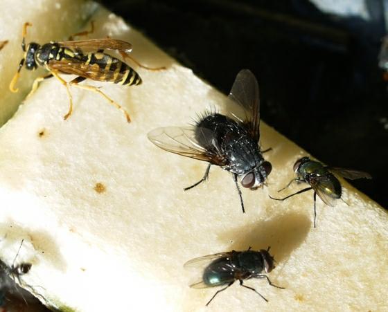 fly - Leschenaultia