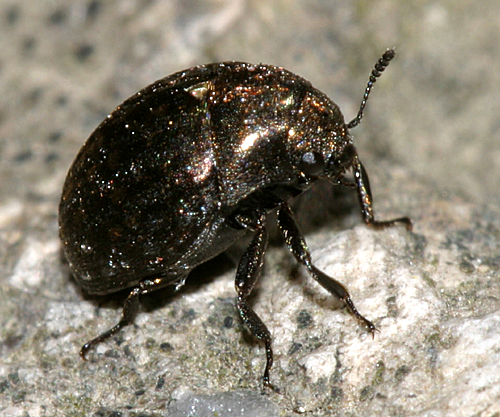 Pill Beetle - Cytilus alternatus