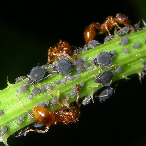 Unknown aphids - Aphis