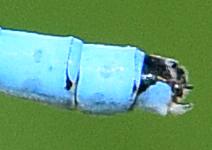 Boreal Bluet - Enallagma boreale - male