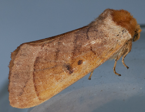 hooded moth - Datana perspicua