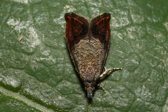 Plummer's Island - Talponia plummeriana