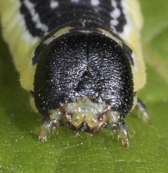 catalpa worm face - Ceratomia catalpae