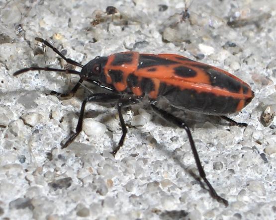 Red and black bug - Pyrrhocoris apterus