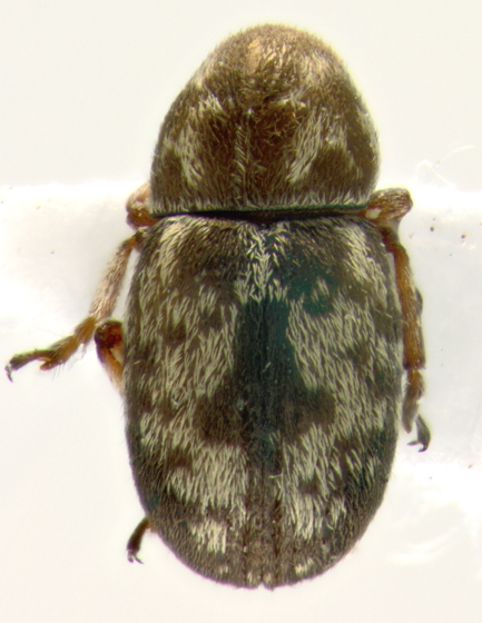 Anthribidae, dorsal - Trigonorhinus rotundatus