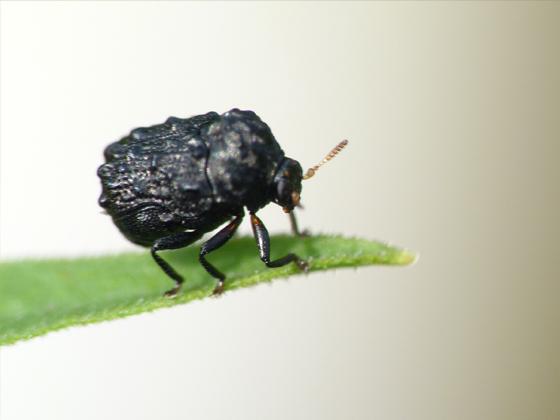 Warty Leaf Beetle 3 - Exema