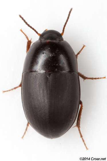 Gondwanocrypticus obsoletus - Gondwanocrypticus platensis