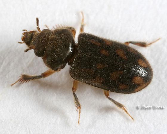 Variegated Mud-loving Beetle