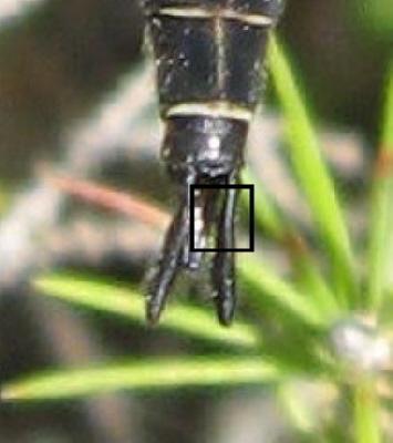 Epitheca 02b - Epitheca spinigera
