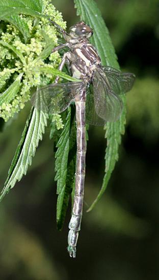 Arrow Clubtail (teneral) - Stylurus spiniceps