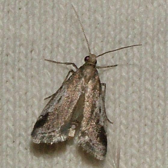 Alpheioides parvulalis?? - Alpheias oculiferalis