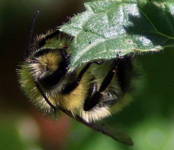 Large Yellow Bee - Bombus flavifrons