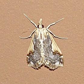 Brown and Tan Moth - Loxostege albiceralis