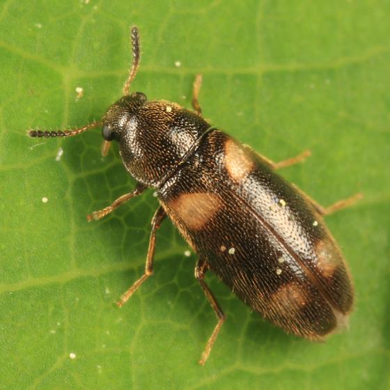 False Darkling Beetle - Spilotus quadripustulatus