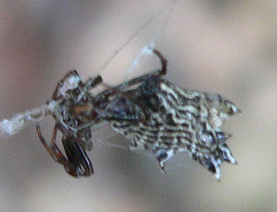 Spined Micrathena - Micrathena gracilis - female