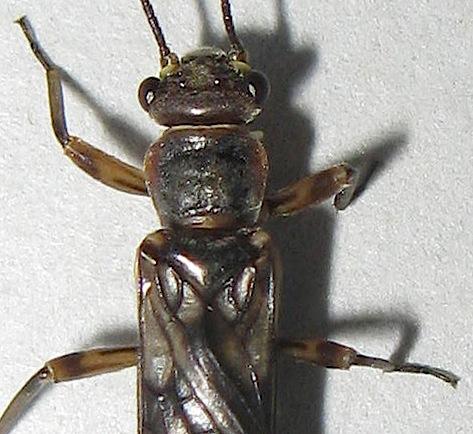 Stonefly - Zapada oregonensis