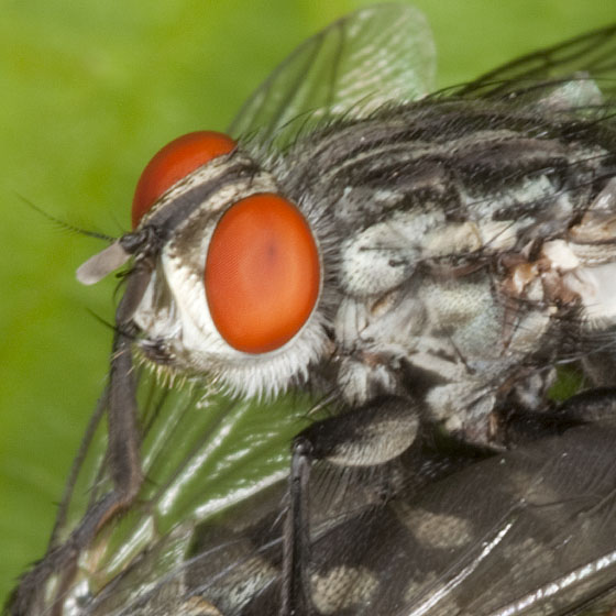 Fly IMG_1958 - male