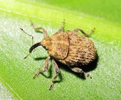 what species? - Trichosirocalus horridus