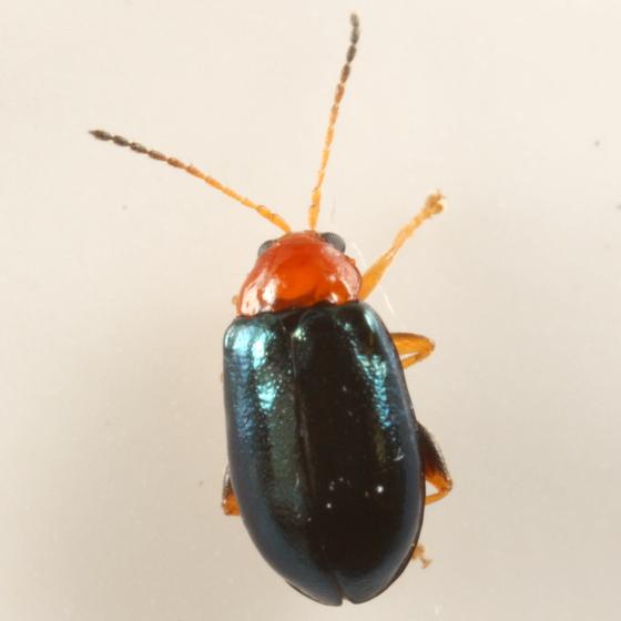 Sedge beetle - Palaeothona picta