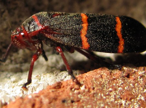 What species of leafhopper is this? - Prosapia bicincta