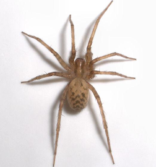 Captivating Light Brown Spider   Tegenaria Domestica   Female