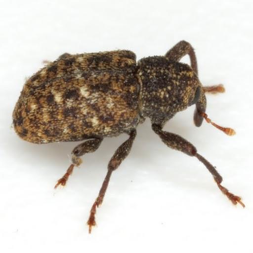 Apteromechus texanus Fall - Apteromechus texanus