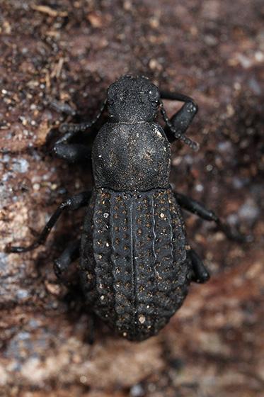 beetle - Polypleurus perforatus