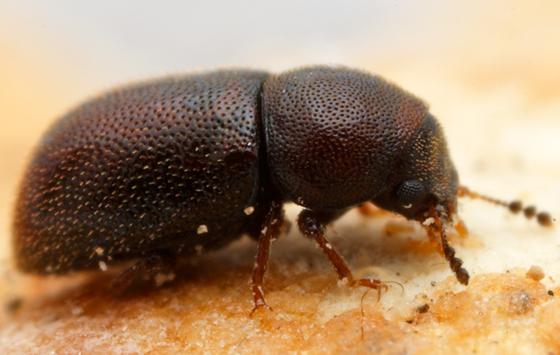 ciid - Plesiocis cribrum - female