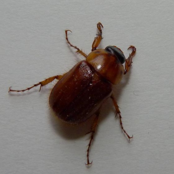Cyclocephala borealis? - Cyclocephala borealis
