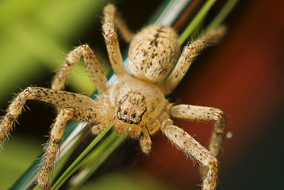 unknown spider - Curicaberis