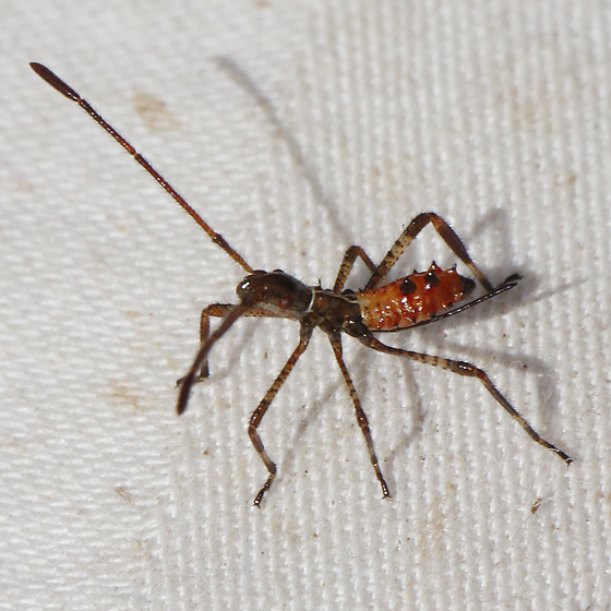 Leptoglossus occidentalis nymph - Leptoglossus occidentalis
