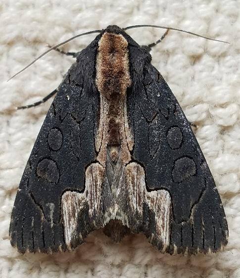 Dypterygia rozmani (American Bird's-Wing) - Dypterygia rozmani