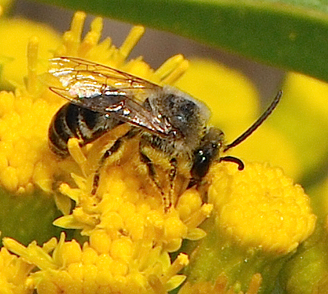 unknown bee - Colletes - female