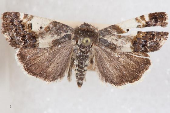 ? Ponometia sutrix - Tarache abdominalis