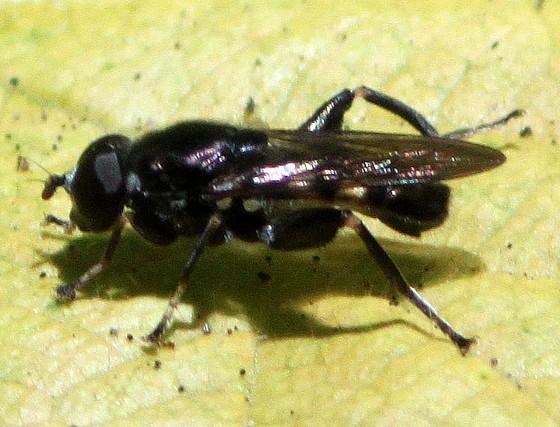 Syrphid? - Chalcosyrphus nemorum - male