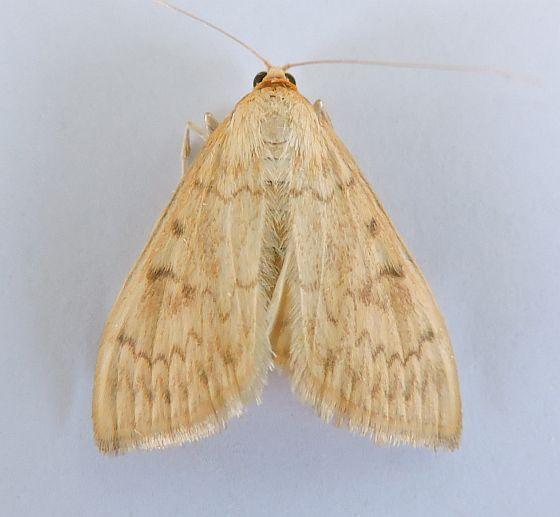 Arizona Moth - Hahncappsia mellinialis