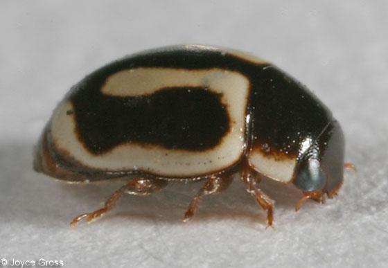 ladybeetle - Hyperaspidius