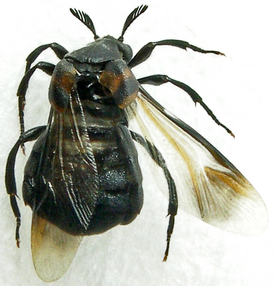 wedge-shaped beetle - Ripiphorus - female