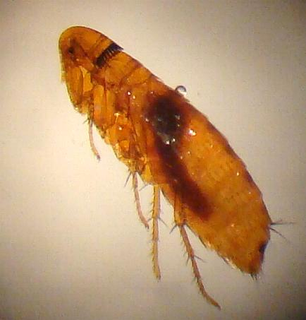 Fleas found on a Deer Mouse